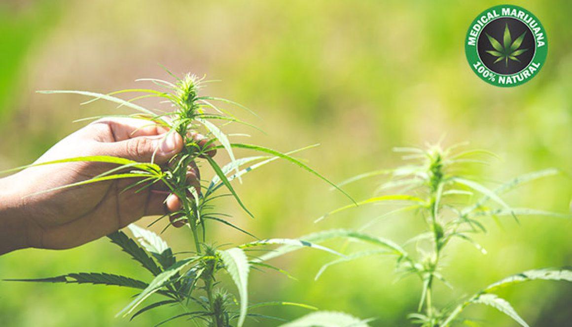 กัญชา, น้ำมันกัญชา, cannabis, marijuanna